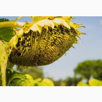 ГРАНД АДМІРАЛ насіння соняшнику